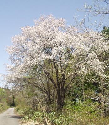 Naganohana13
